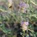 Dalea scariosa - Photo (c) Jen Schlauch, algunos derechos reservados (CC BY-NC)