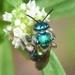 Augochloropsis - Photo (c) Joe MDO,  זכויות יוצרים חלקיות (CC BY-NC)