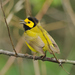 Hooded Warbler - Photo (c) JanetandPhil, some rights reserved (CC BY-NC-ND)