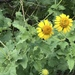 Awnless Bushsunflower - Photo (c) Laura Clark, some rights reserved (CC BY)