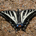Pale Swallowtail - Photo (c) guyincognito, some rights reserved (CC BY-NC)