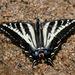 Mariposa Cometa Golondrina Pálida - Photo (c) guyincognito, algunos derechos reservados (CC BY-NC)