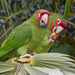 Mitred Parakeet - Photo (c) Paul Cools, some rights reserved (CC BY-NC)