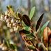 Chamaedaphne calyculata - Photo (c) aarongunnar,  זכויות יוצרים חלקיות (CC BY)