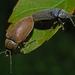 Dascillus cervinus - Photo (c) Jürgen Mangelsdorf, algunos derechos reservados (CC BY-NC-ND)