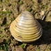 Asian Clam - Photo (c) Valter Jacinto, some rights reserved (CC BY-NC-SA)