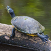 Yellow-bellied Slider - Photo (c) BJ Stacey, some rights reserved (CC BY-NC)