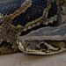 Python - Photo (c) Paul Cools, μερικά δικαιώματα διατηρούνται (CC BY-NC)