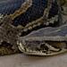 Python - Photo (c) Paul Cools, algunos derechos reservados (CC BY-NC)