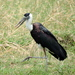 Woolly-necked Stork - Photo (c) Subhajit Roy, some rights reserved (CC BY-NC-ND)