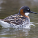 Red-necked Phalarope - Photo (c) Mike Baird, some rights reserved (CC BY)