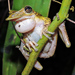 Duck-bill Hylid Frog - Photo (c) Cheryl Harleston López Espino, some rights reserved (CC BY-NC-ND)