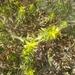 Sideritis montana montana - Photo (c) morenadmitrievna, algunos derechos reservados (CC BY-NC)