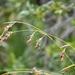 Rhynchospora odorata - Photo (c) Tom Palmer, μερικά δικαιώματα διατηρούνται (CC BY-NC)