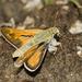 Hesperia colorado - Photo (c) Bill Bouton, algunos derechos reservados (CC BY-NC-ND)