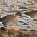 Taiga Bean Goose - Photo (c) Paul Cools, some rights reserved (CC BY-NC)