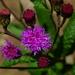 Vernonia greggii - Photo (c) Jóse Flores Ventura, όλα τα δικαιώματα διατηρούνται