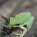 Small-eared Tree Frog - Photo (c) Alberto Lozano, some rights reserved (CC BY-NC)