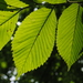 Slippery Elm - Photo (c) Zihao Wang, some rights reserved (CC BY)