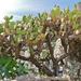 Opuntia elatior - Photo (c) Bernard DUPONT, μερικά δικαιώματα διατηρούνται (CC BY-SA)