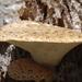 Neolentiporus maculatissimus - Photo (c) geoffboyes, osa oikeuksista pidätetään (CC BY-NC)