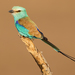 Abyssinian Roller - Photo (c) Paul Cools, some rights reserved (CC BY-NC)
