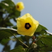 Sea Hibiscus - Photo (c) tern911, some rights reserved (CC BY-NC)