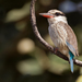 Striped Kingfisher - Photo (c) Paul Cools, some rights reserved (CC BY-NC)