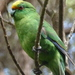 Malherbe's Parakeet - Photo (c) Mark Anderson, some rights reserved (CC BY-SA)