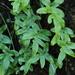 Selliguea quasidivaricata - Photo (c) Lin Scott,  זכויות יוצרים חלקיות (CC BY)