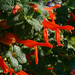 Salvia regla - Photo (c) James Gaither, μερικά δικαιώματα διατηρούνται (CC BY-NC-ND)