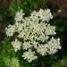 Aethusa cynapium - Photo (c) H. Zell, algunos derechos reservados (CC BY-SA)