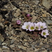 Oxalis enneaphylla - Photo (c) Miguel Eq, algunos derechos reservados (CC BY-NC)