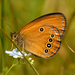 False Ringlet - Photo (c) Roberto Sindaco, some rights reserved (CC BY-NC-SA)