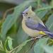 Ptiliogonys caudatus - Photo (c) Paul Cools,  זכויות יוצרים חלקיות (CC BY-NC)