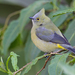 Long-tailed Silky-Flycatcher - Photo (c) Paul Cools, some rights reserved (CC BY-NC)