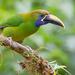 Tucanetas Verdes - Photo (c) Paul Cools, algunos derechos reservados (CC BY-NC)