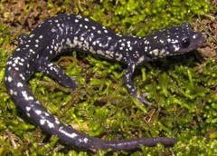 Northern Slimy Salamander - Photo (c) bugman83, some rights reserved (CC BY-NC)