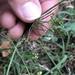 Ammoselinum butleri - Photo (c) Lena Zappia, alguns direitos reservados (CC BY-NC)