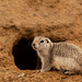 Townsend's Ground Squirrel - Photo (c) Dasha Gudalewicz, some rights reserved (CC BY-NC)