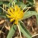 Centaurea iberica - Photo (c) Uriah Resheff, algunos derechos reservados (CC BY-NC)