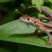 Takydromus amurensis - Photo (c) Kim, Hyun-tae, algunos derechos reservados (CC BY-NC)