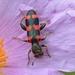 Trichodes leucopsideus - Photo (c) Francesca Graziani, some rights reserved (CC BY-NC)