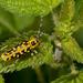 Saperda scalaris - Photo (c) Paul Cools, algunos derechos reservados (CC BY-NC)