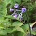 Andersonglossum boreale - Photo (c) Jesse Lincoln, algunos derechos reservados (CC BY-NC)