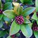 Skimmia japonica - Photo (c) Wildfeuer, μερικά δικαιώματα διατηρούνται (CC BY-SA)
