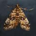 Elophila obliteralis - Photo (c) Monica Krancevic,  זכויות יוצרים חלקיות (CC BY-NC)