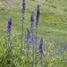 Delphinium glaucum - Photo (c) 2007 Dianne Fristrom, alguns direitos reservados (CC BY-SA)