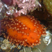 Orange Sea Cucumber - Photo (c) Marisa Agarwal, some rights reserved (CC BY-NC)