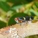 Eurymeloides - Photo (c) James Bailey, μερικά δικαιώματα διατηρούνται (CC BY-NC)
